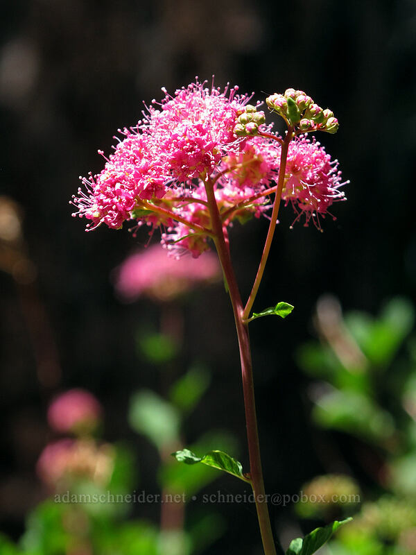 subalpine spirea (Spiraea densiflora (Spiraea splendens)) [Shirley Canyon Trail, Squaw Valley, California]
