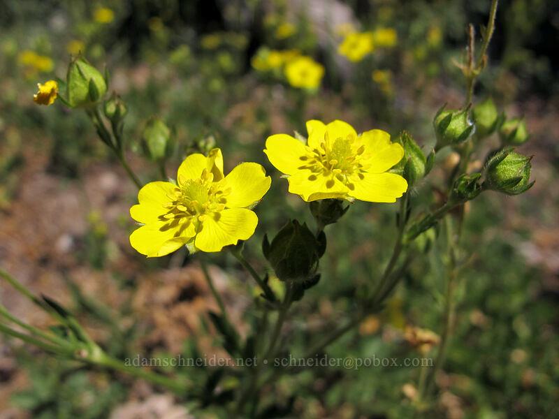 cinquefoil (Potentilla sp.) [Shirley Canyon Trail, Squaw Valley, California]