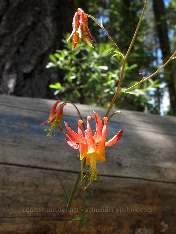 columbine (Aquilegia formosa) [Shirley Canyon Trail, Squaw Valley, California]