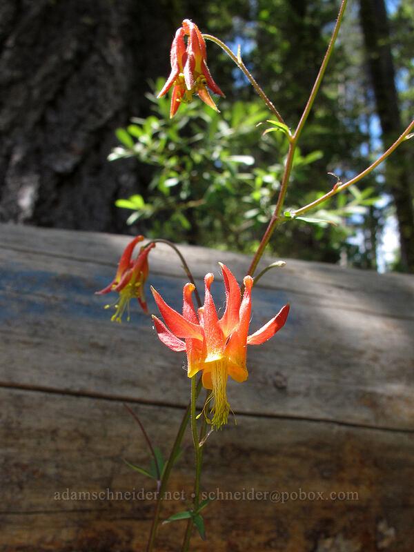 columbine (Aquilegia formosa) [Shirley Canyon Trail, Squaw Valley, California]