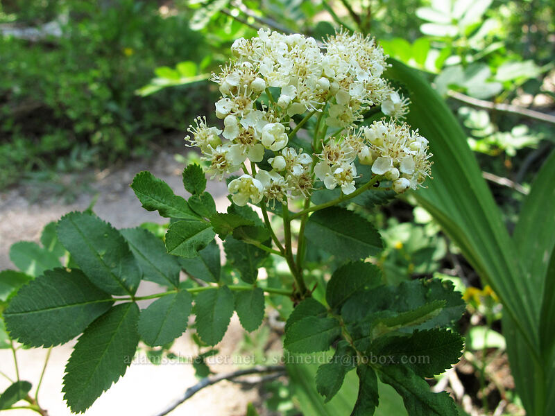 California mountain-ash (Sorbus californica) [Shirley Canyon Trail, Squaw Valley, California]