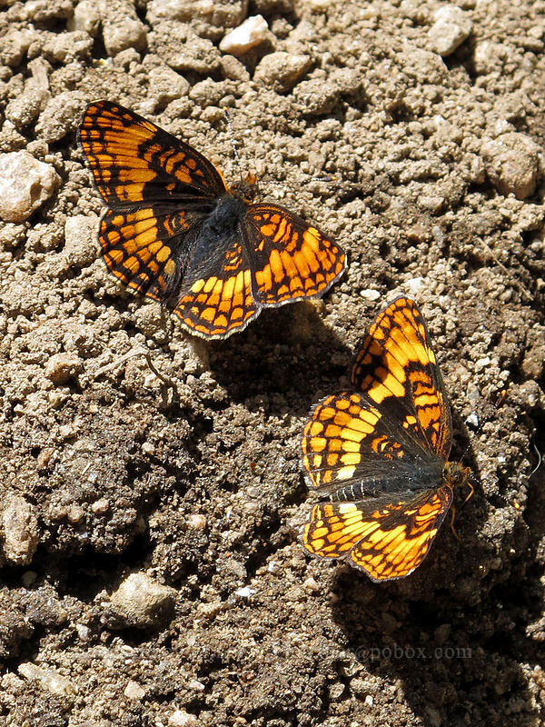 Hoffman's checkerspot butterflies (Chlosyne hoffmanni) [Shirley Canyon Trail, Squaw Valley, California]