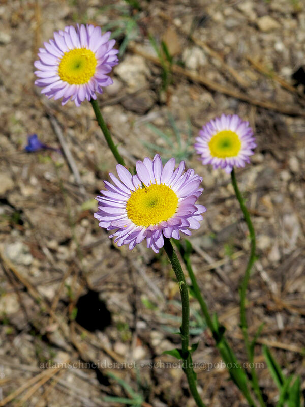 fleabane (Erigeron sp.) [Shirley Canyon Trail, Squaw Valley, California]