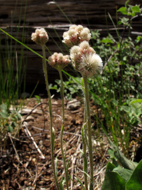 rosy pussytoes (Antennaria rosea) [Shirley Canyon Trail, Squaw Valley, California]