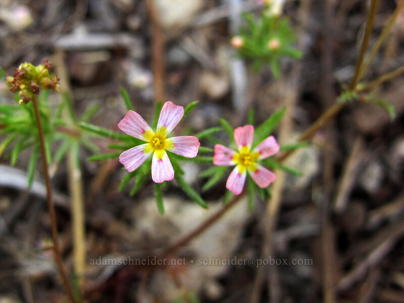 whiskerbrush (Leptosiphon ciliatus) [Shirley Canyon Trail, Squaw Valley, California]