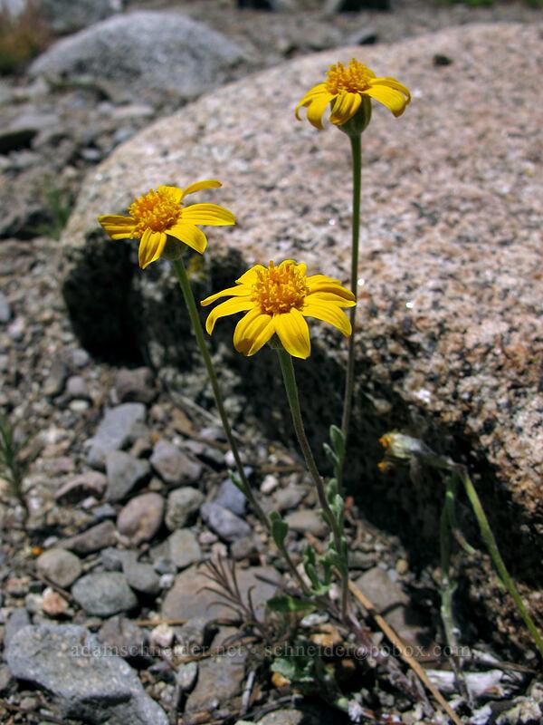 Oregon sunshine (Eriophyllum lanatum) [Shirley Canyon Trail, Squaw Valley, California]