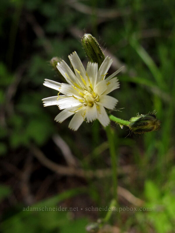 white-flowered hawkweed (Hieracium albiflorum) [Shirley Canyon Trail, Squaw Valley, California]