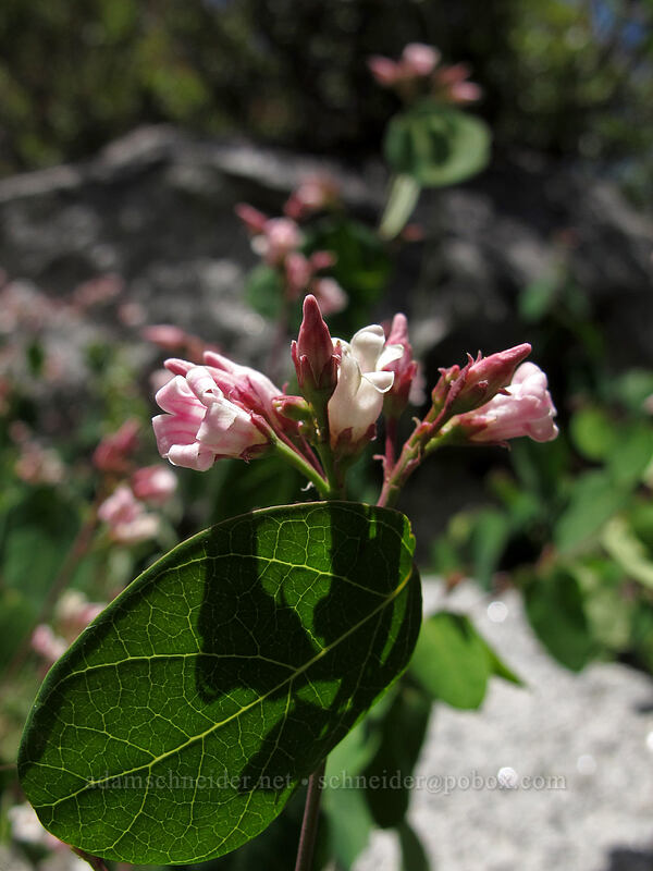 spreading dogbane (Apocynum androsaemifolium) [Shirley Canyon Trail, Squaw Valley, California]