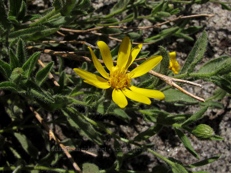 hairy golden-aster (Heterotheca villosa) [Shirley Canyon Trail, Squaw Valley, California]