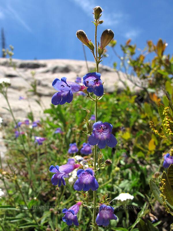 penstemon (Penstemon sp.) [Shirley Canyon Trail, Squaw Valley, California]