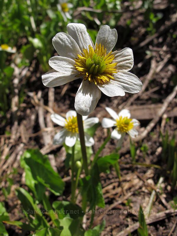 white marsh-marigold (Caltha leptosepala) [Shirley Canyon, Squaw Valley, California]