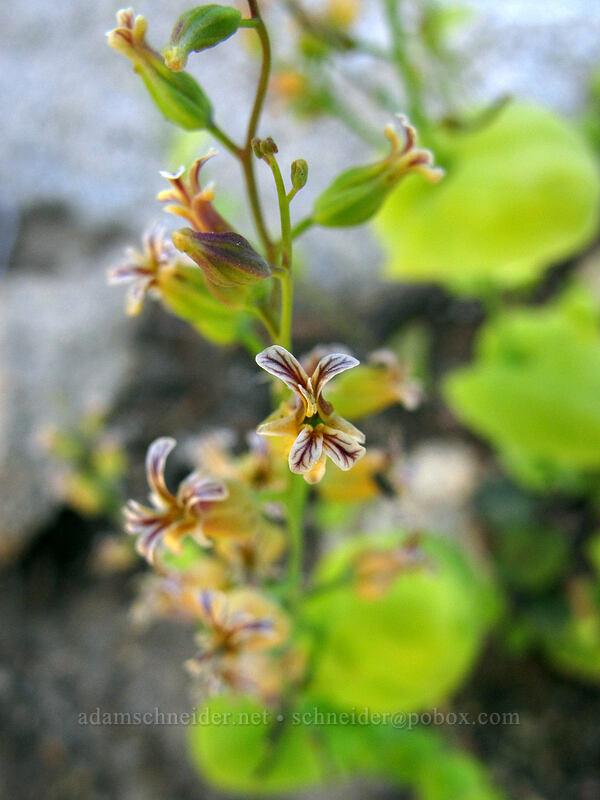 mountain jewelflower (Streptanthus tortuosus) [Shirley Canyon, Squaw Valley, California]