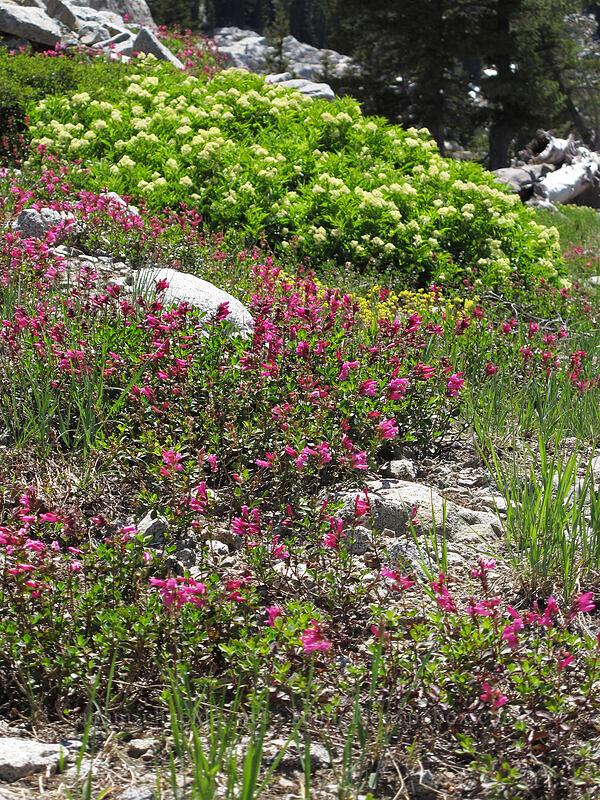 elderberry flowers & mountain pride (Sambucus racemosa, Penstemon newberryi) [Shirley Canyon, Squaw Valley, California]