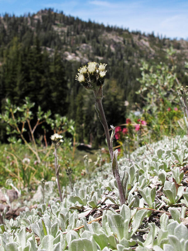 alpine pussytoes (Antennaria media) [Shirley Canyon, Squaw Valley, California]