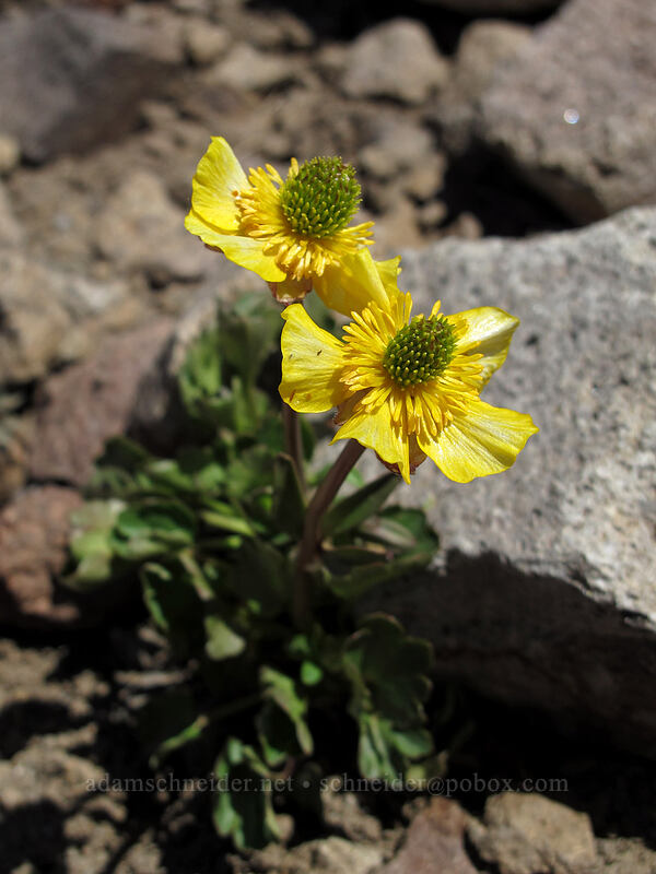 snow-patch buttercup (Ranunculus eschscholtzii) [Shirley Canyon, Squaw Valley, California]
