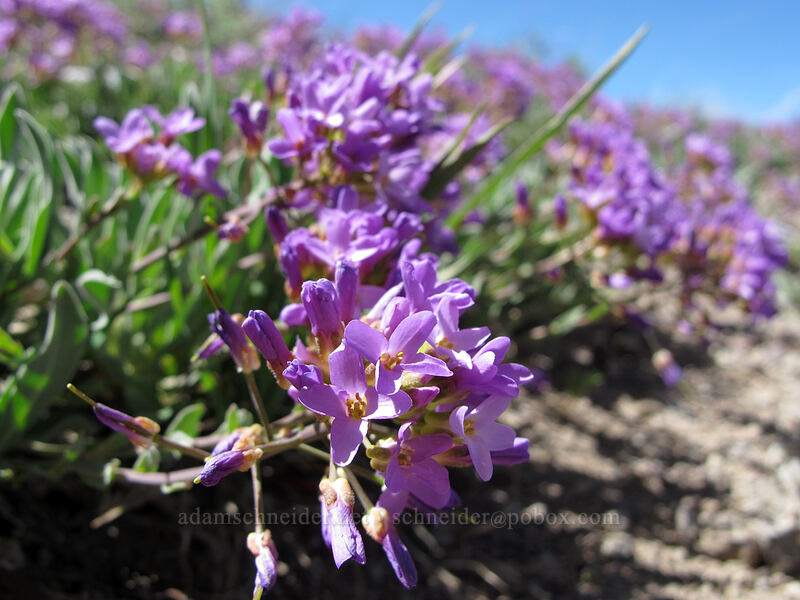 dagger pod (Phoenicaulis cheiranthoides) [Emigrant Peak, Squaw Valley, California]
