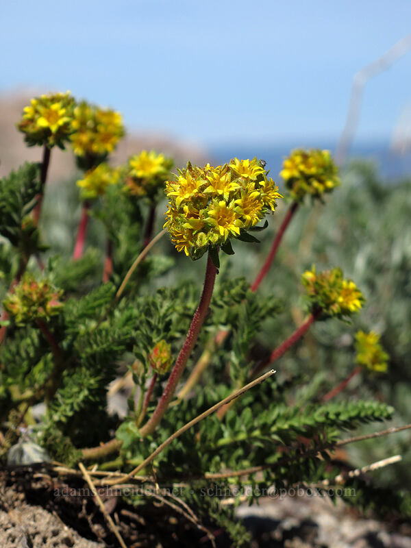 alpine ivesia (Ivesia gordonii) [Emigrant Peak, Squaw Valley, California]