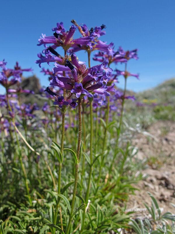 penstemon (Penstemon sp.) [Emigrant Peak, Squaw Valley, California]