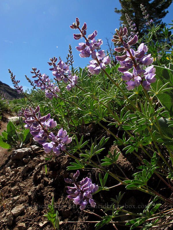 lupines (Lupinus sp.) [High Camp, Squaw Valley, California]