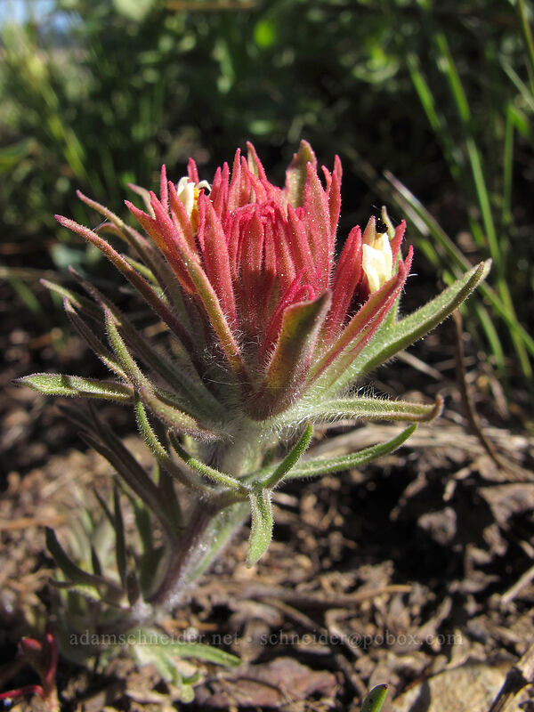 alpine paintbrush (Castilleja nana) [High Camp, Squaw Valley, California]