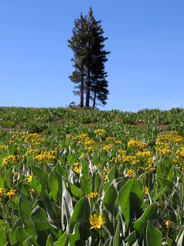 mule's ears & groundsel (Wyethia mollis, Senecio integerrimus) [High Camp, Squaw Valley, California]