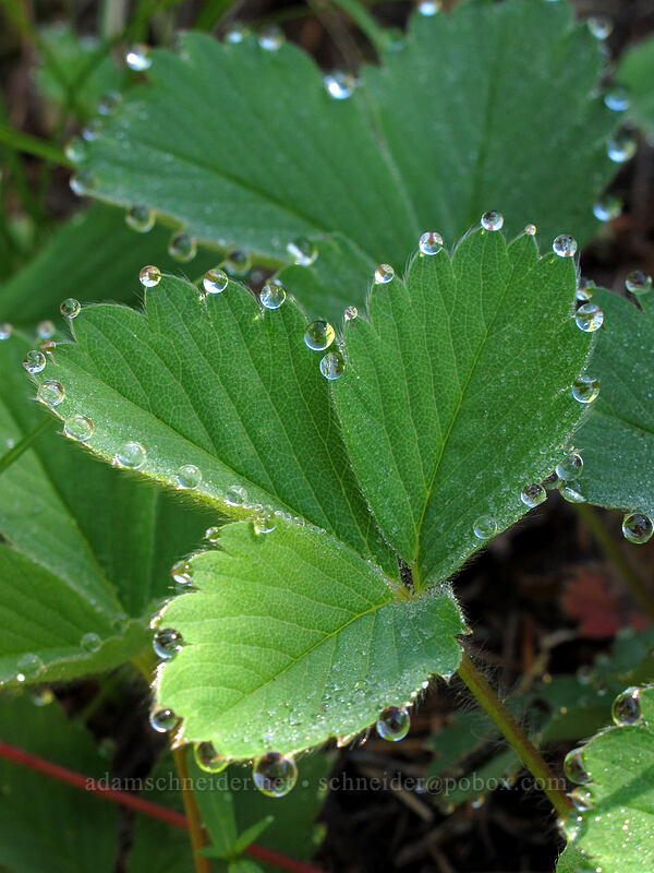 dew on strawberry leaves (Fragaria virginiana) [Sunrise connector trail (262A), Gifford Pinchot National Forest, Washington]