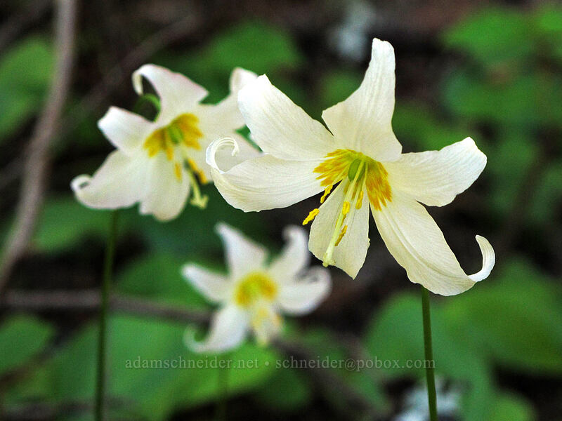 avalanche lilies (Erythronium montanum) [Sunrise Peak Trail, Gifford Pinchot National Forest, Washington]