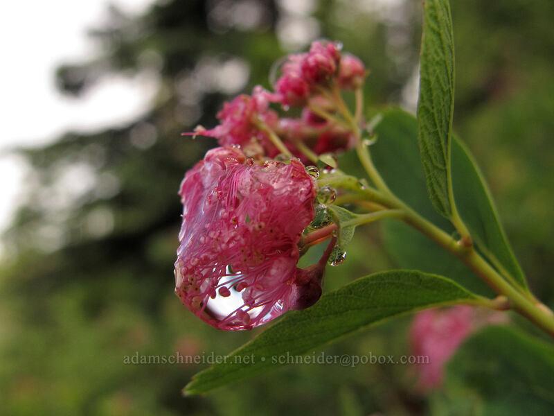 water droplets on spirea (Spiraea densiflora) [Pacific Crest Trail, Alpine Lakes Wilderness, Washington]
