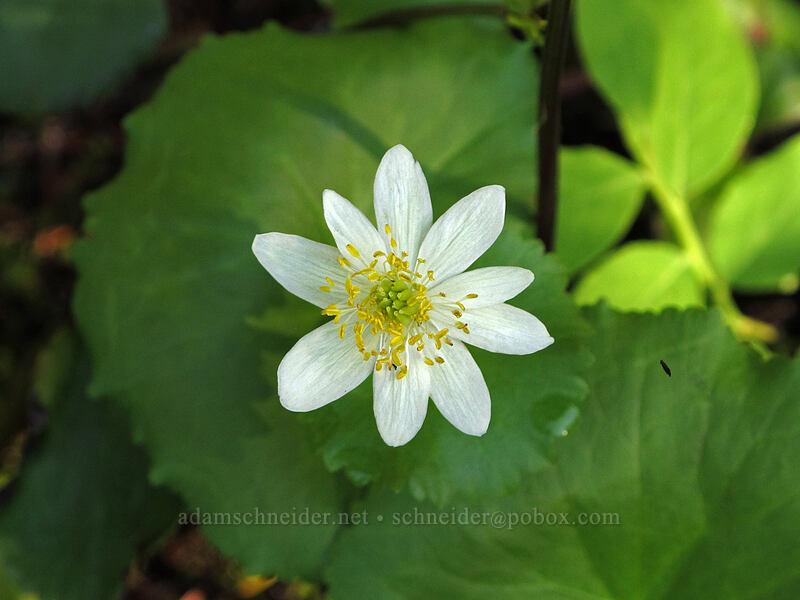 white marsh-marigold (Caltha leptosepala) [Commonwealth Basin Trail, Snoqualmie National Forest, Washington]