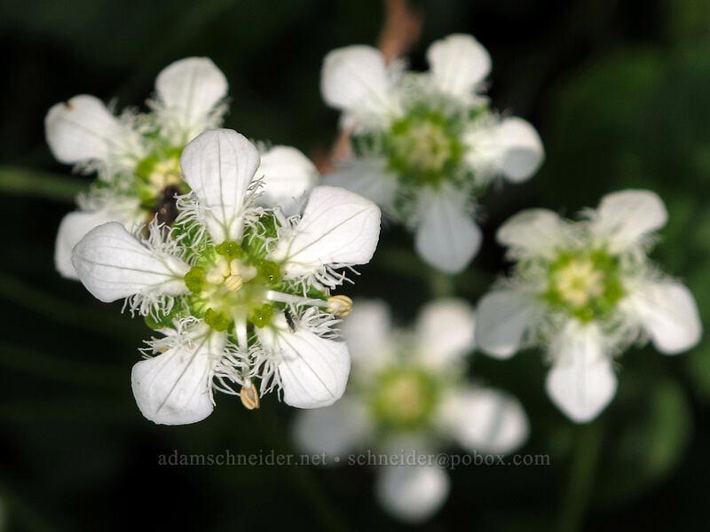 fringed grass-of-Parnassus (Parnassia fimbriata) [Rainy Lake Trail, Okanogan-Wenatchee National Forest, Washington]