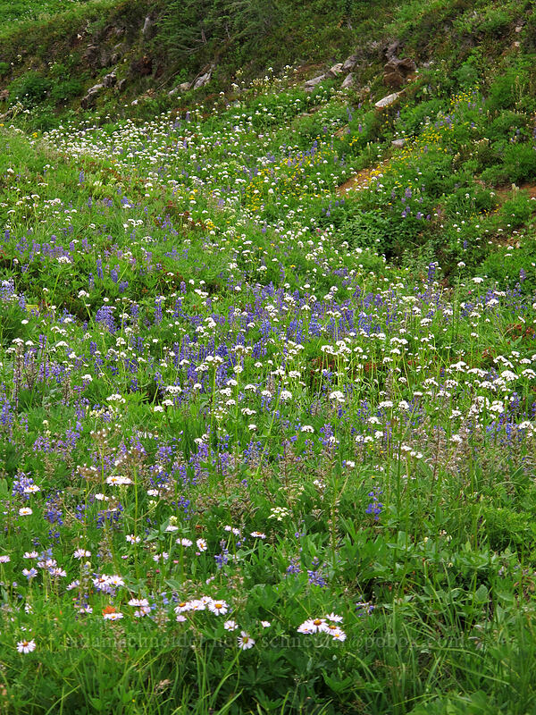 valerian & lupine (Valeriana sitchensis, Lupinus sp.) [Maple Pass Trail, Okanogan-Wenatchee National Forest, Washington]