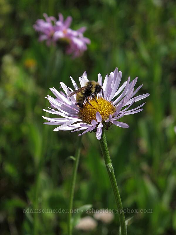 bumblebee on fleabane (Erigeron sp.) [Heather Pass, Okanogan-Wenatchee National Forest, Washington]