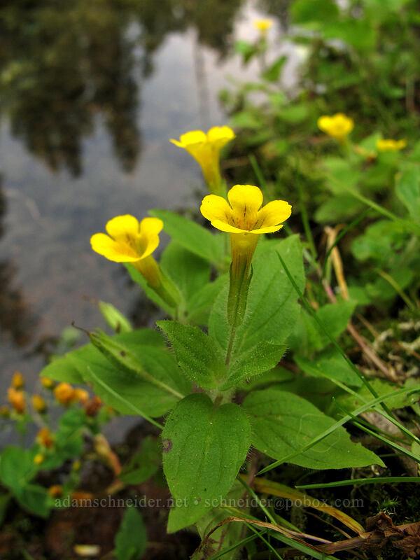 musk monkeyflower (Erythranthe moschata (Mimulus moschatus)) [Tamolitch Pool, Willamette National Forest, Oregon]