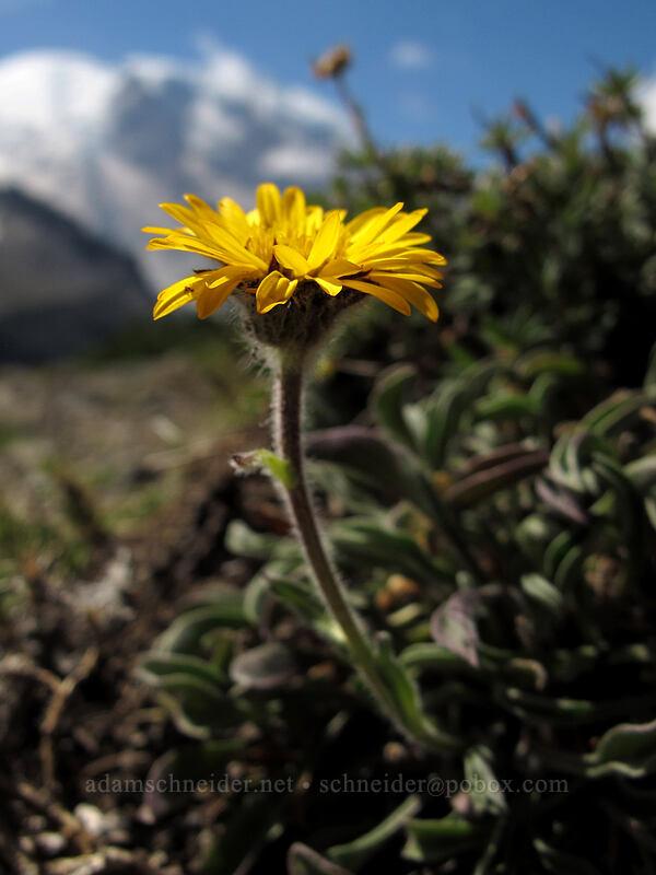 alpine yellow fleabane (Erigeron aureus) [Skyscraper Mountain, Mount Rainier National Park, Washington]