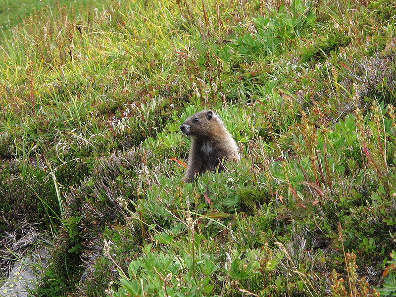 young marmot (Marmota caligata) [Berkeley Park, Mount Rainier National Park, Washington]