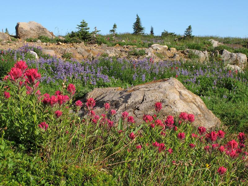 magenta paintbrush (Castilleja parviflora var. oreopola) [Deadhorse Creek Trail, Mount Rainier National Park, Washington]
