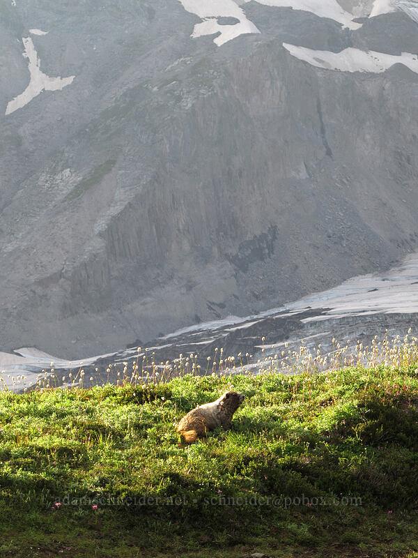 hoary marmot (Marmota caligata) [Glacier Vista Trail, Mount Rainier National Park, Washington]