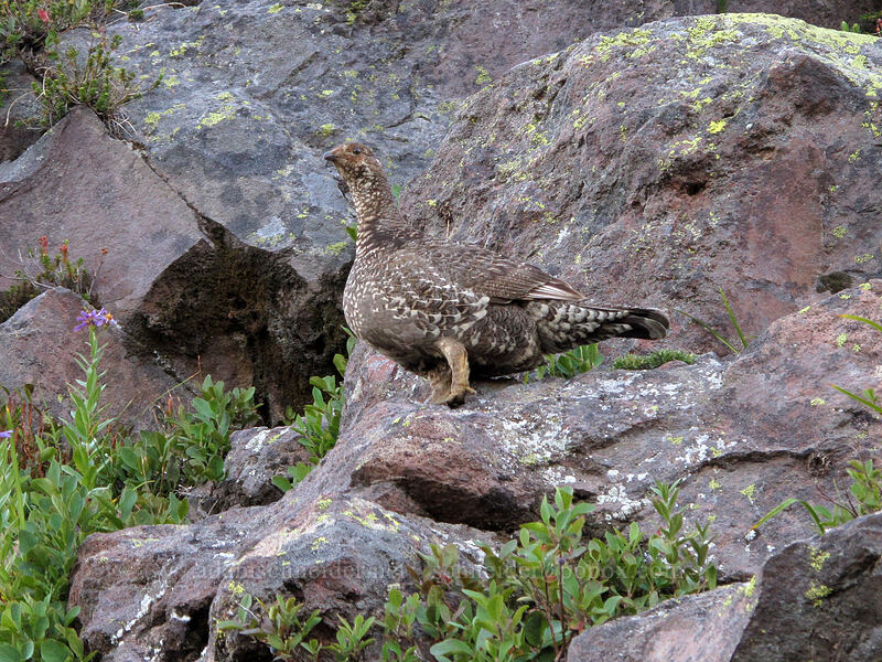 sooty grouse (Dendragapus fuliginosus) [Deadhorse Creek Trail, Mount Rainier National Park, Washington]