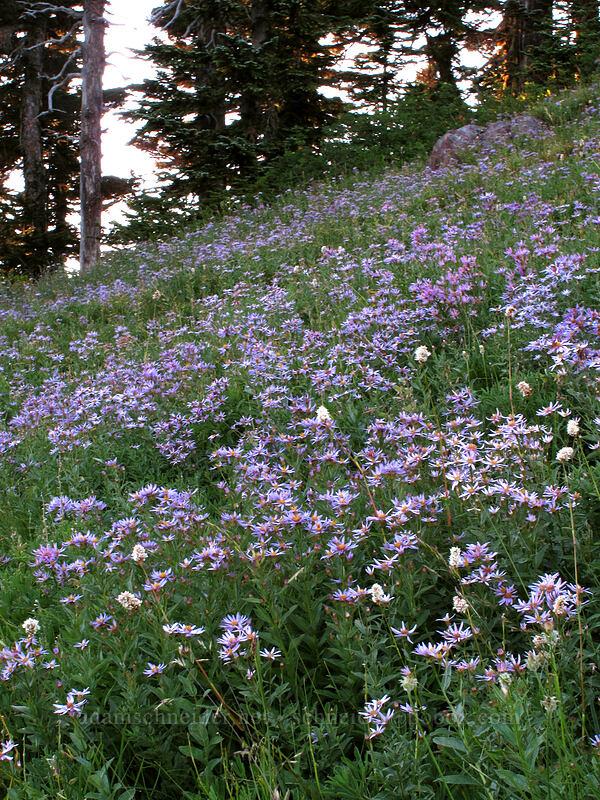 Cascade asters (Eucephalus ledophyllus) [Deadhorse Creek Trail, Mount Rainier National Park, Washington]