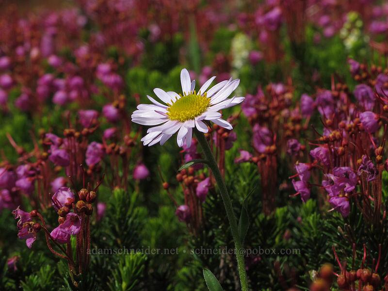 daisy & heather (Erigeron sp., Phyllodoce empetriformis) [Scott Paul Trail, Mount Baker-Snoqualmie National Forest, Washington]