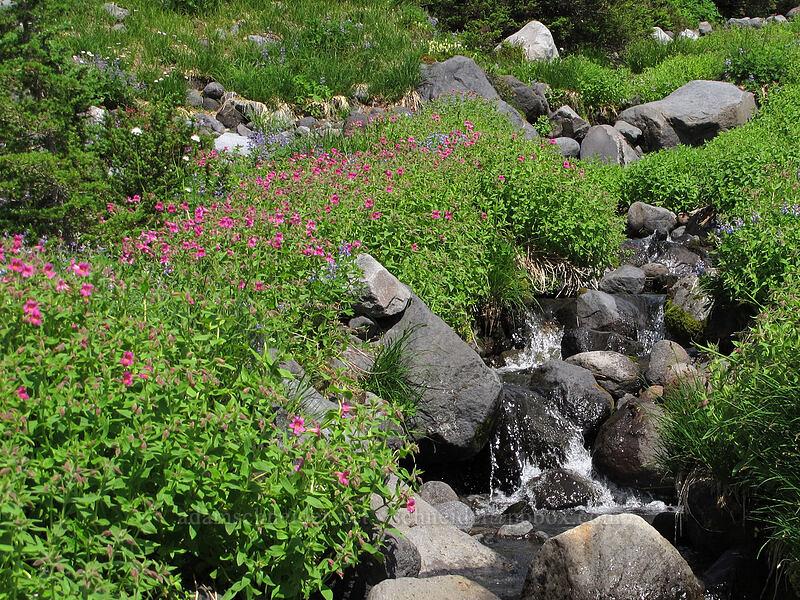 Lewis' monkeyflower & a stream (Erythranthe lewisii (Mimulus lewisii)) [Scott Paul Trail, Mount Baker-Snoqualmie National Forest, Washington]