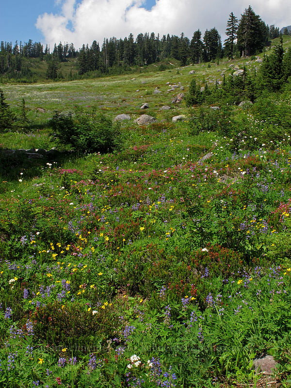 wildflowers [Railroad Grade Moraine, Mount Baker-Snoqualmie National Forest, Washington]