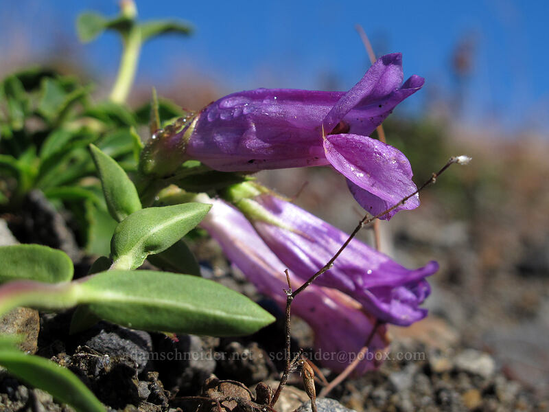 Cardwell's penstemon (Penstemon cardwellii) [South Coldwater Trail, Mt. St. Helens National Volcanic Monument, Washington]