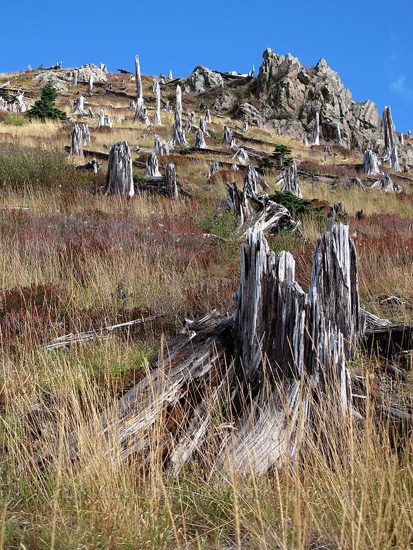 stumps [Coldwater Trail, Mt. St. Helens National Volcanic Monument, Washington]