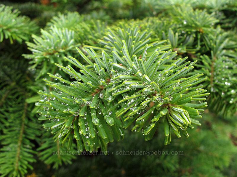 subalpine fir needles (Abies lasiocarpa) [Coldwater Trail, Mt. St. Helens National Volcanic Monument, Washington]
