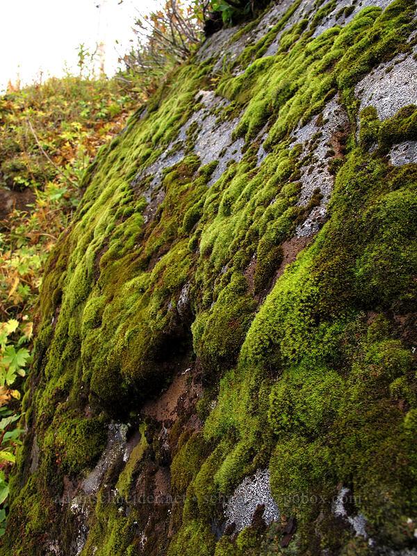 moss [Boundary Trail, Mt. St. Helens National Volcanic Monument, Washington]