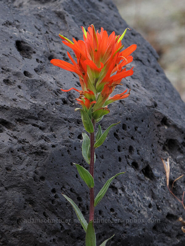 paintbrush (Castilleja miniata) [Boundary Trail, Mt. St. Helens National Volcanic Monument, Washington]