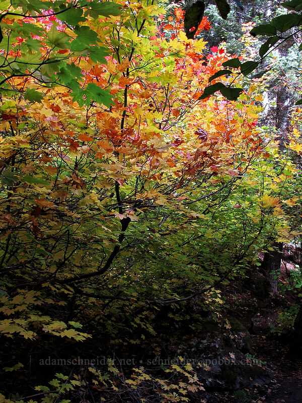 fall colors (vine maples) (Acer circinatum) [Tamanawas Falls Trail, Mt. Hood National Forest, Oregon]