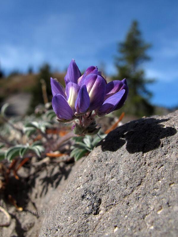 dwarf lupine (Lupinus lepidus var. lobbii) [Timberline Trail, Richard L. Kohnstamm Wilderness, Oregon]