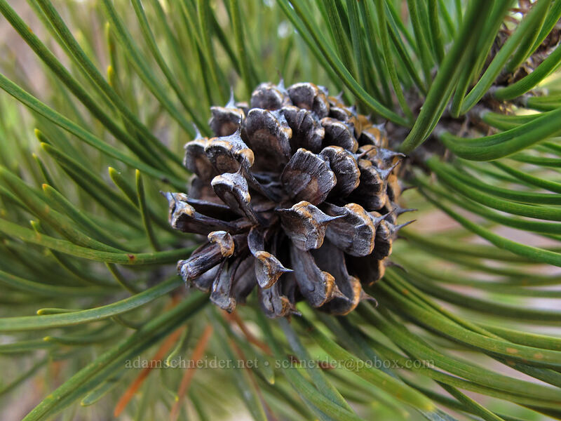 whitebark pine cone (Pinus albicaulis) [Timberline Trail, Mt. Hood National Forest, Oregon]